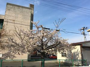 桜撮ってみた
